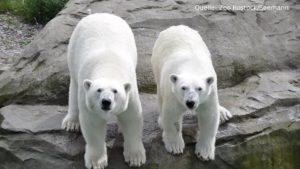 Eisbaeren_ZooRostock
